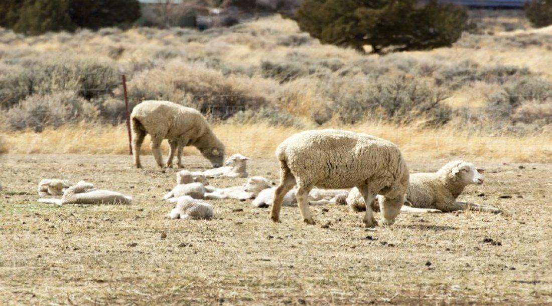 Be a Shepherd to a Sheep